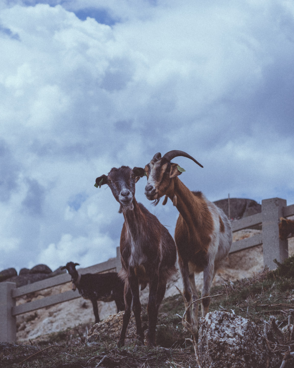 Two goats with cloudy sky behind
