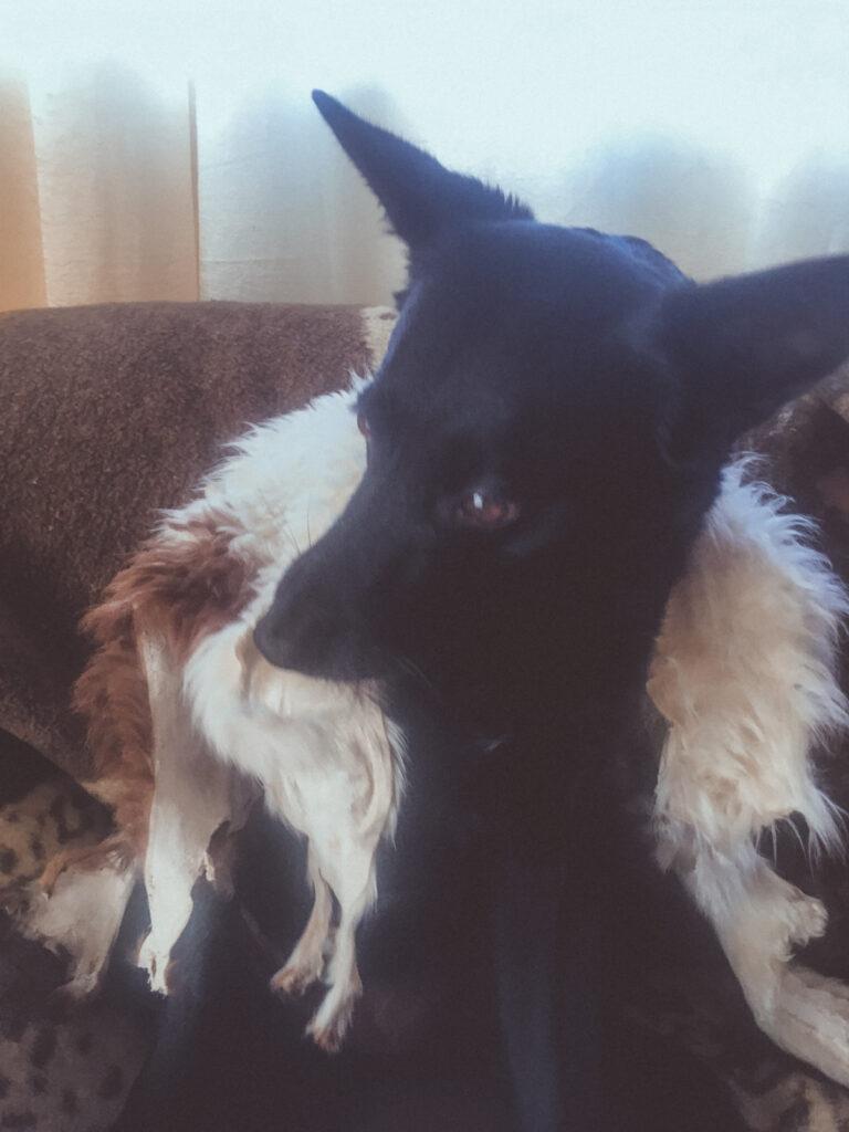 Dog biting sheepskin