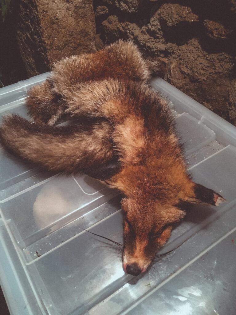 Road kill fox skin