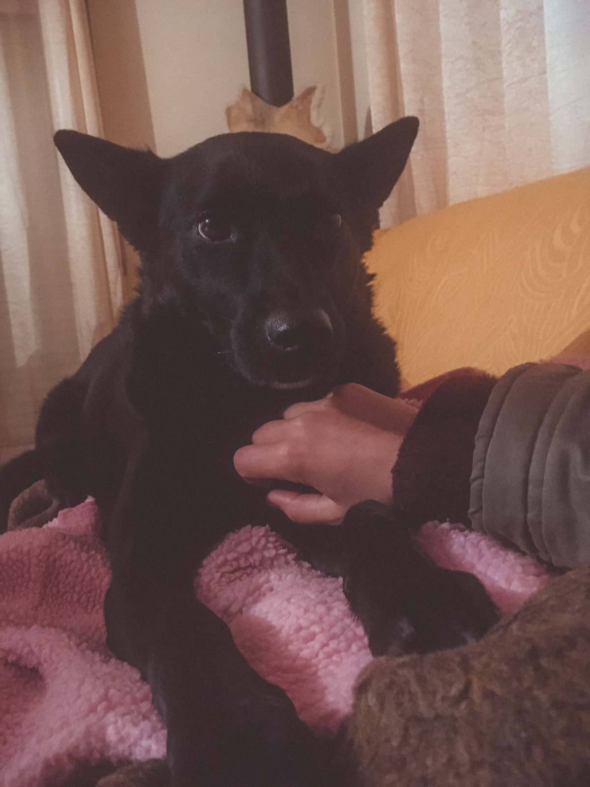 black dog on sofa