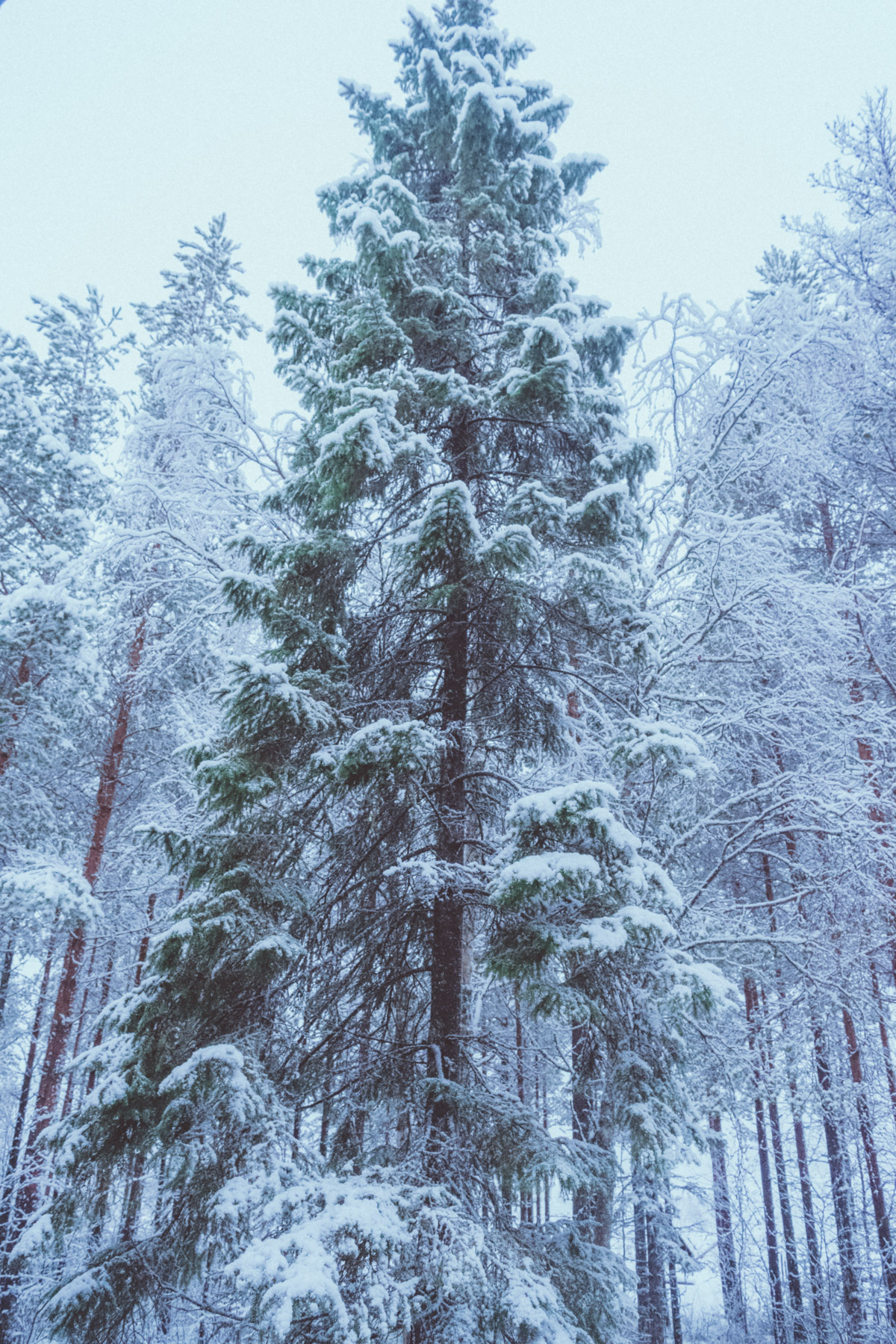 Magestic tree covered in snow in Yli-Ii