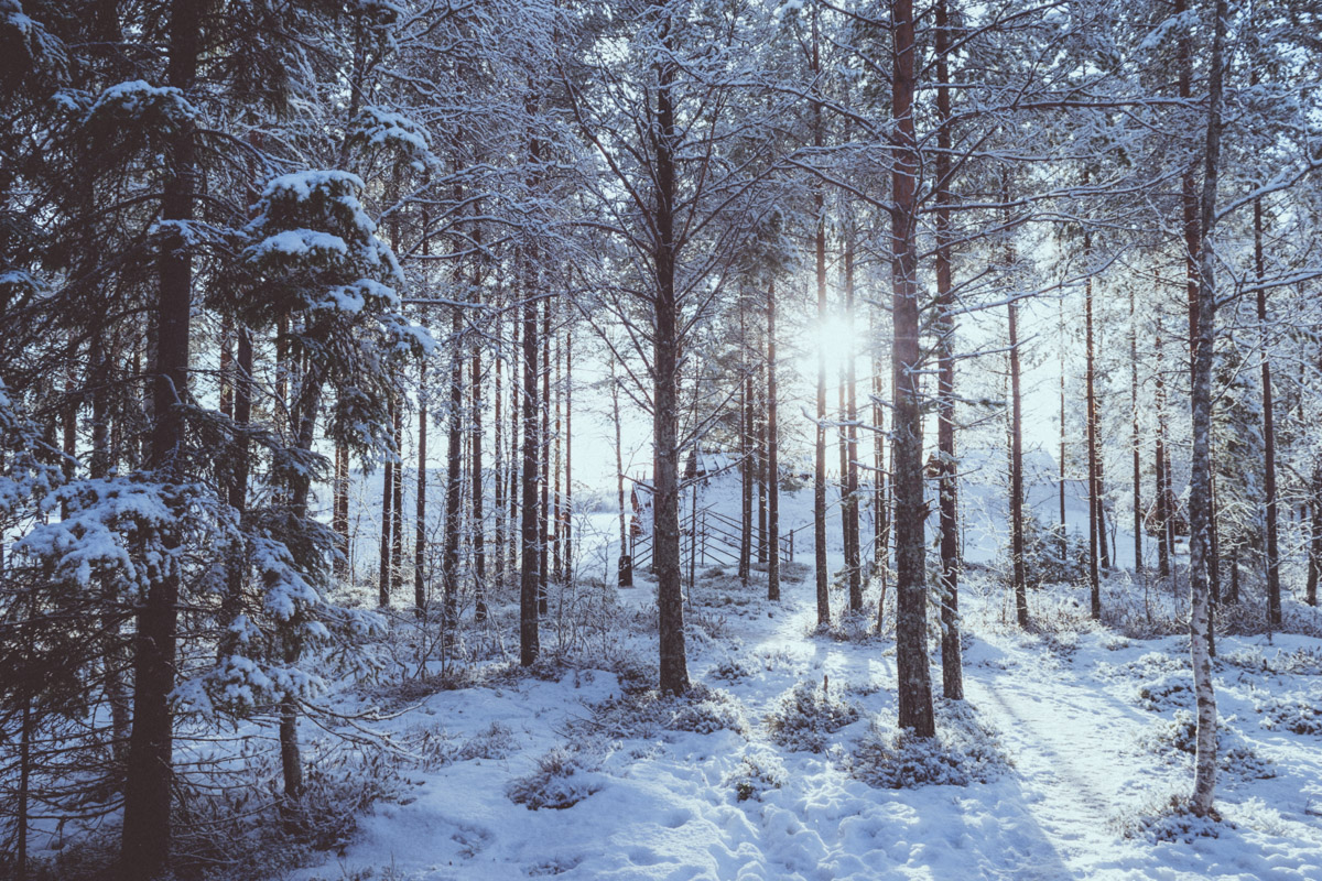 Magnificent snow covered forest