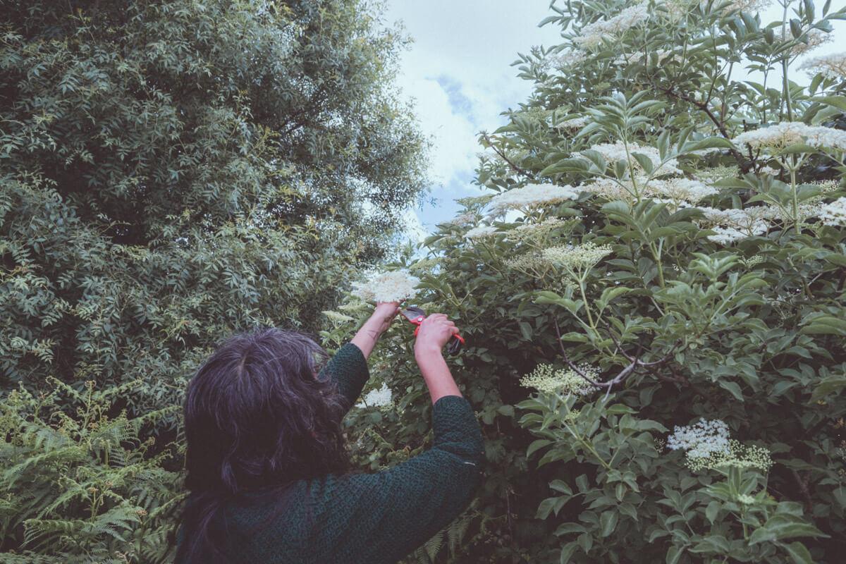 collecting elderflowers to make elderflower cordial